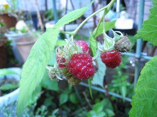 Rasberry2010_1